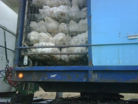 Truck full of chickens